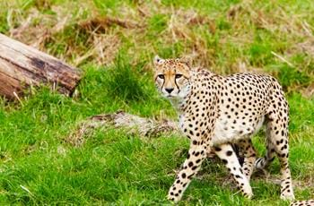 Moshi & Sifiso the Cheetahs