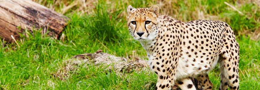 Southern Cheetah at Port Lympne Hotel & Reserve in Kent