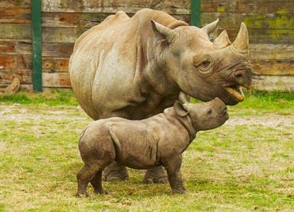 Eastern black rhino and calf at Port Lympne Reserve in Kent