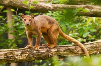 Ikongo the Fossa