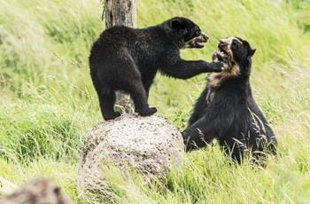 Rina & Oberon The Spectacled Bears