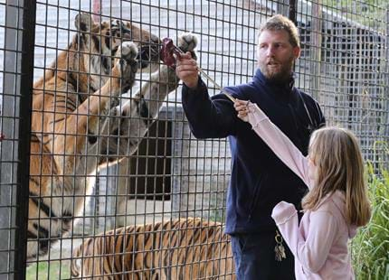 Tiger encounter at Port Lympne Hotel & Reserve in Kent