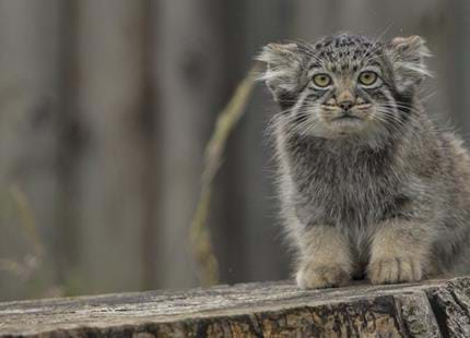 Pallas cat at Port Lympne Hotel & Reserve in Kent