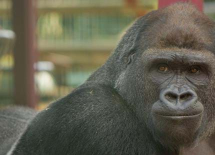 Western lowland gorilla silverback at Port Lympne Hotel & Reserve in Kent, UK