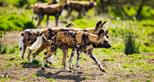 African painted dogs at Port Lympne Hotel & Reserve in Kent UK