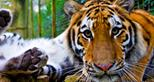 ANIMAL-GALLERY_Siberian-Amur-Tiger_1.jpg