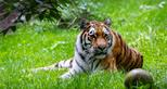 Siberian or Amur tiger at Port Lympne Hotel & Reserve in Kent, UK