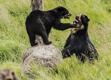 Kent's Only Spectacled Bears