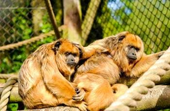 Black & Gold Howler Monkey
