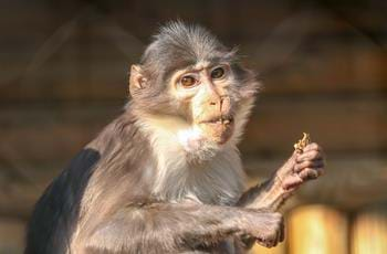 White Naped Mangabey