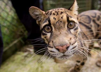 Clouded leopard, Matsi at Howletts Wild Animal Park in Kent