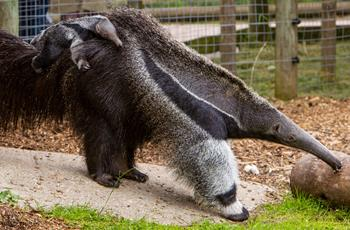 Zet & Fidji The Anteaters