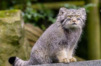Temujin the Pallas Cat