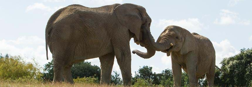 See the UK largest herd of African elephants at Howletts Wild Animal Park in Kent