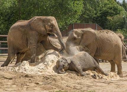The UK's largest herd of African elephants at Howletts Wild Animal Park in Kent
