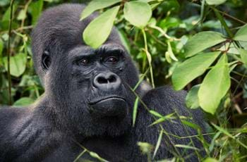 Djala the Gorilla