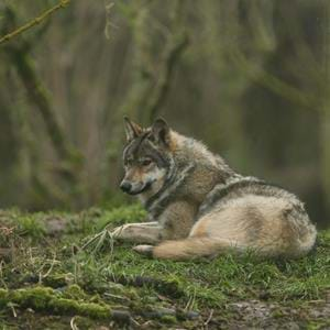 dave%20rolfe%20howletts%20wolf[1].jpg
