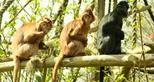 3 of the 8 langurs going back to the wild c The AspinallFoundation.JPG