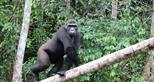 Wild western lowland gorilla Djongo at The Aspinall Foundation's gorilla release project in Gabon
