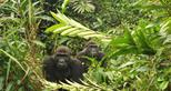Western lowland gorillas, Djalta and Ima, living wild in Gabon, Africa in The Aspinall Foundation's protected release project