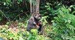 Western lowland gorilla, Djongo living wild in Gabon, Africa in The Aspinall Foundation's protected release project