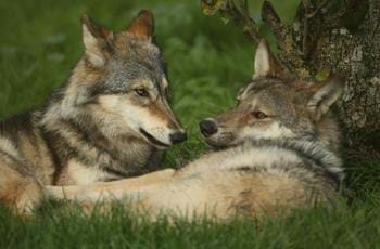 Kago & Nushka the European Grey Wolf