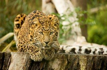 Northern Chinese leopards