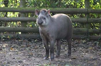 Tommy the Tapir
