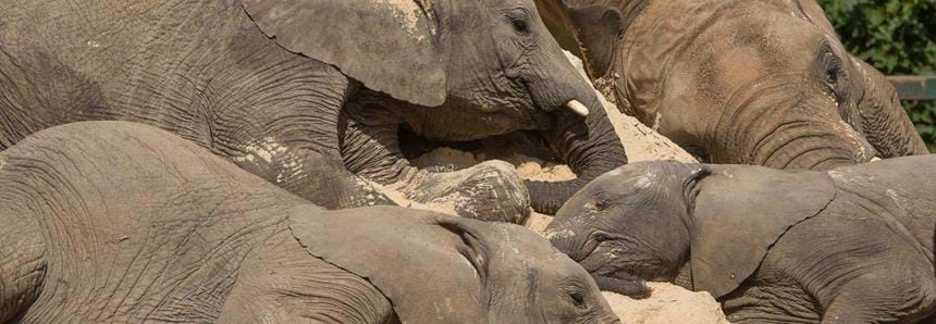 UK's largest African elephant herd laying on their donated sand pile at Howletts Wild Animal Park