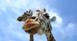 Giraffe at Port Lympne Reserve