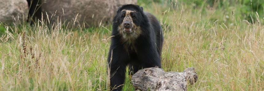 The only spectacled bears in Kent
