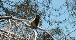crowned sifaka in dry forest canopy_credit The Aspinall Foundation (4).JPG (1)