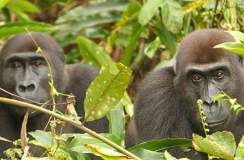 Gabon Gorilla Group
