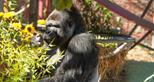 Western lowland gorilla silverback enjoys a treat at Howletts Wild Animal Park in Kent