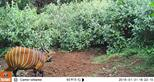 Bongo caught on camera trap donated by The Aspinall Foundation