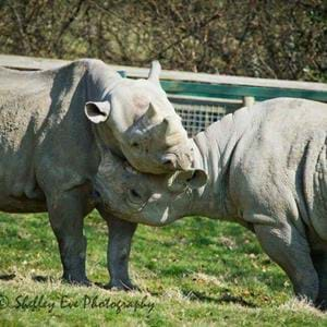 Black rhinos Kingo (left) and Vuyu (right)