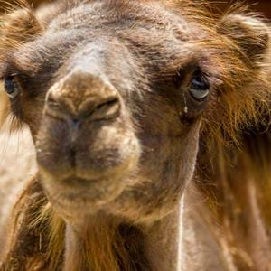 Clyde the Bactrian Camel at Port Lympne Reserve in Kent