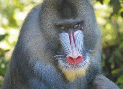 Wild mandrill at The Aspinall Foundation gorilla project in Africa