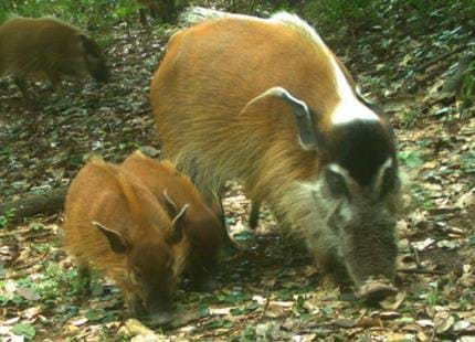 Wild red river hogs caught on camera by The Aspinall Foundation