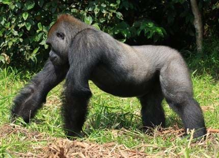 Wild western lowland gorilla, Rapha in Gabon, Africa in The Aspinall Foundation's protected release project