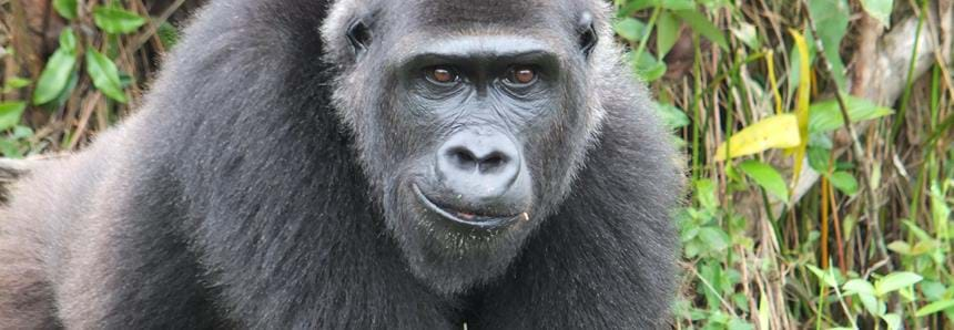 Wild western lowland gorilla, Mbwambe in Gabon, Africa in The Aspinall Foundation's protected release project