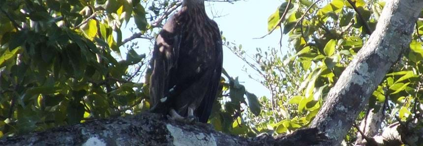 Wild fish eagle at The Aspinall Foundation's Madagascar primate project