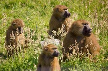Baboon Scatter Feed