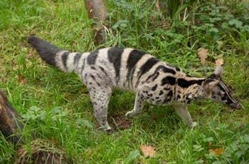 Owston's Civet