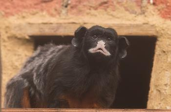 Red bellied tamarin
