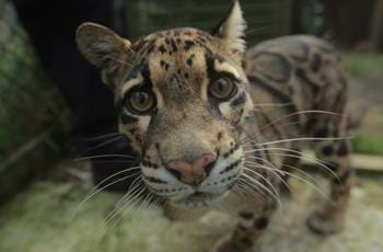 Matsi the Clouded Leopard