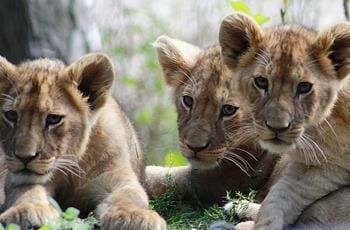 Khari, Binti & Kulinda The Lion Cubs